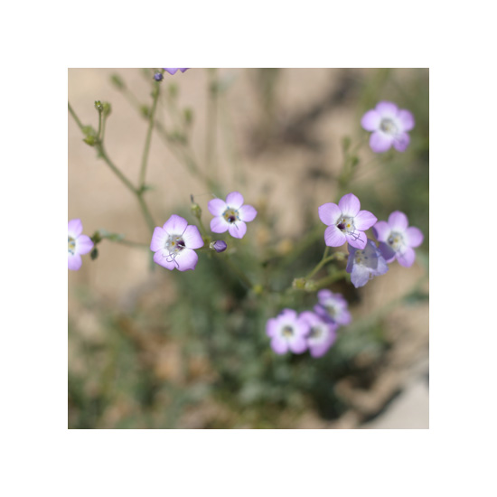 art prints - Mojave Wildflowers 5 by An-Lon Chen