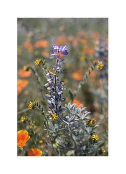 Lupine Bloom