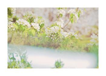 divergent blossoms- pear