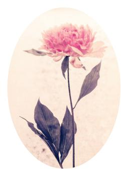 that pink peony standing gracefully