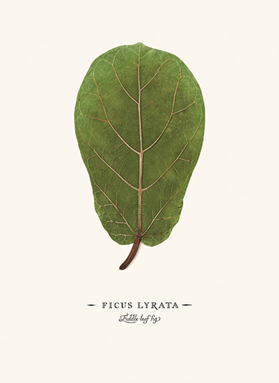 art prints - Ficus lyrata by Andrew McClintock