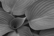 Hosta Revealed by John Deaton