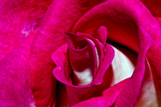 art prints - A Rose is a rose reversal by Megan Woodward