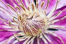 Clematis Reproduction R... by Megan Woodward