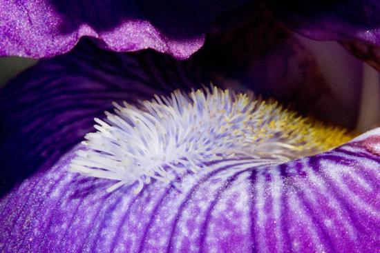 art prints - Iris Two by Megan Woodward