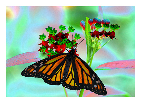 art prints - The Spirit of the Monarch 1 by Color Continuum