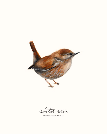 art prints - Winter Wren by Olivia Kanaley