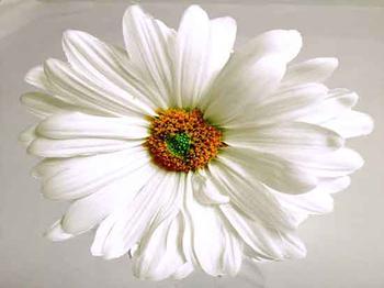 Natural Daisy Heart
