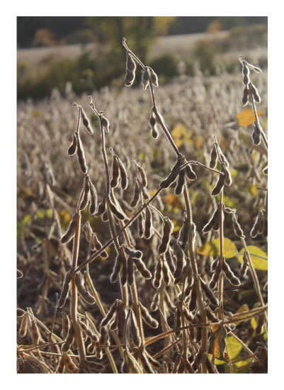 art prints - Soybeans by Cameron Farley-McComb