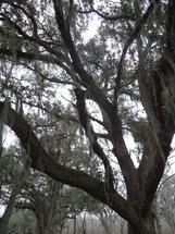 Moss on Oak by Lynn Shaver