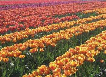 Tulip Fields 1