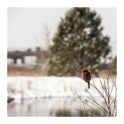 Scarlet of Winter