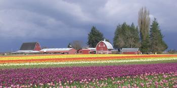 Tulips and the Barns