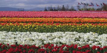 Tulips and Flags