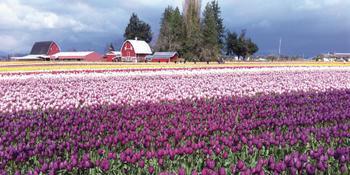 Purple Field of Tulips