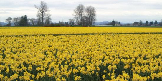 art prints - Daffodils by Jan Kessel
