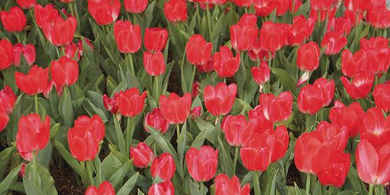 art prints - Red Tulip by missadal
