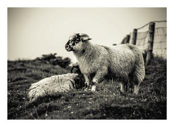 Sheep at Dingle Peninsula