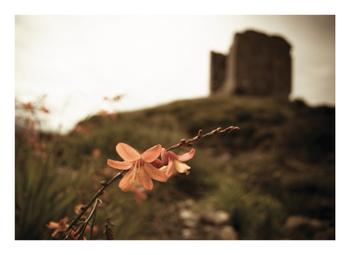 Wildflower at Minard Castle