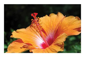 Tropical Orange Hibiscus