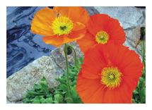 Poppy Trio by Anne Peck