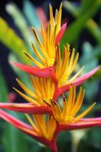Heliconia Guyana by Alexa Mekita