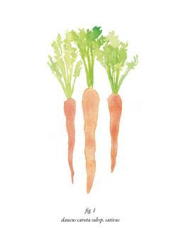 Carrot Study