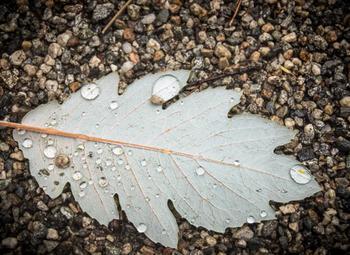 Raindrops on white oak leaf