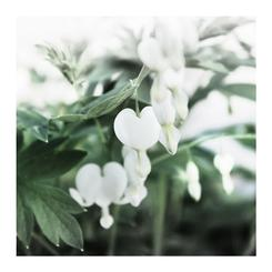 Dicentra's Hearts
