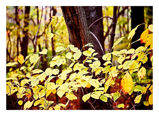 art prints - Yellow Leaves by Barbara Bowen