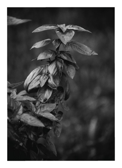 art prints - Basil in Black and White by Lauren Marie