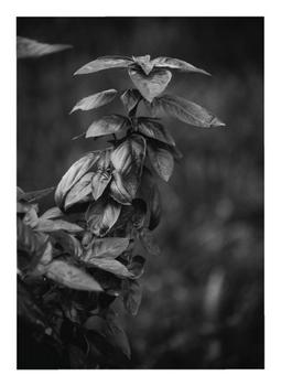 Basil in Black and White