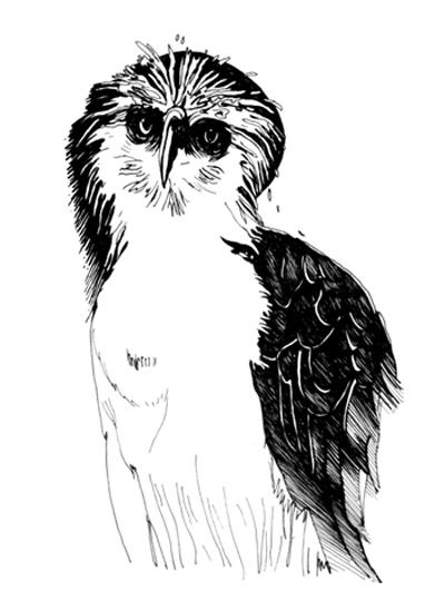 art prints - Philippine Eagle by Kristen Panlilio