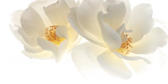 art prints - 2 white Roses by Susan Fan-Brown