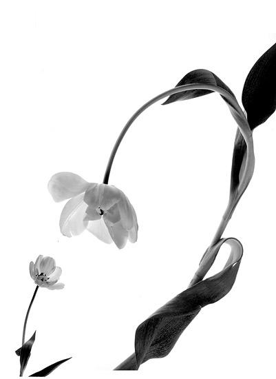 art prints - Talking Tulips by Susan Fan-Brown