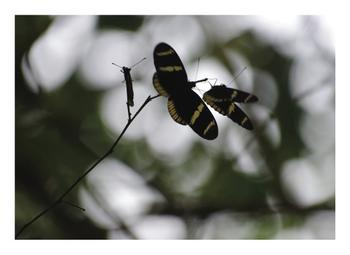 Long Wing Zebra Butterfly
