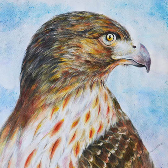art prints - Hawk by Kristen Panlilio