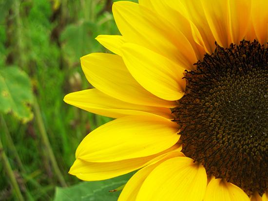 art prints - Bright Sunflower by notinsidethebox