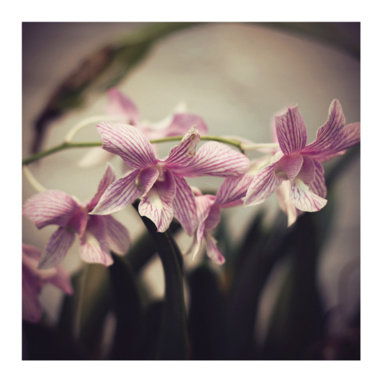 art prints - Pink Orchid by Gray Star Design