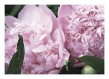 Pink Peonies by Jessica Gordon