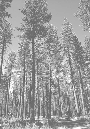 art prints - Coniferous by Lauren Ehle