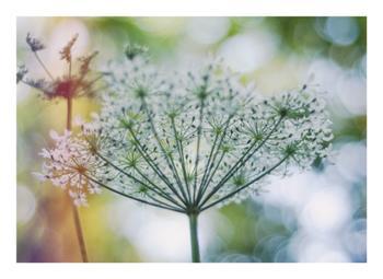 Bokeh wildflower II