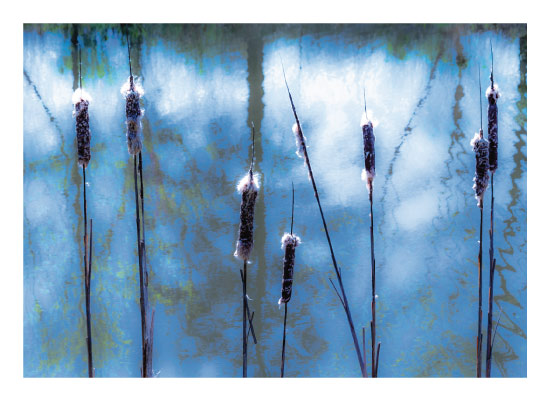 art prints - Cattails by Minted1