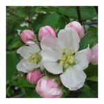 Apple Blossom by Katsura Creative