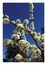 Plum Tree by Pelin Hepcilingirler