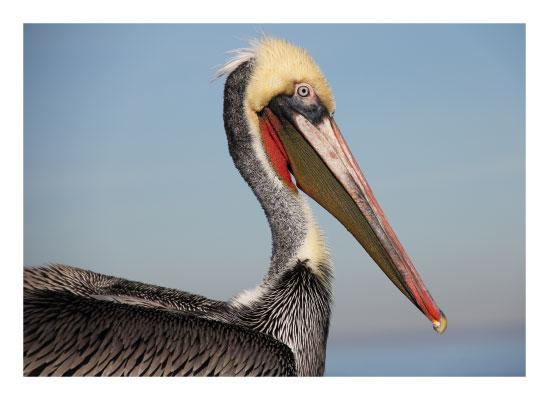 art prints - Red Pelican by Pelin Hepcilingirler