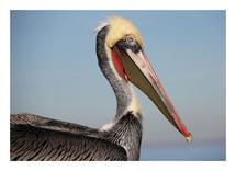Red Pelican by Pelin Hepcilingirler