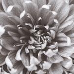 Chrysanthemum III by Lauren Marie