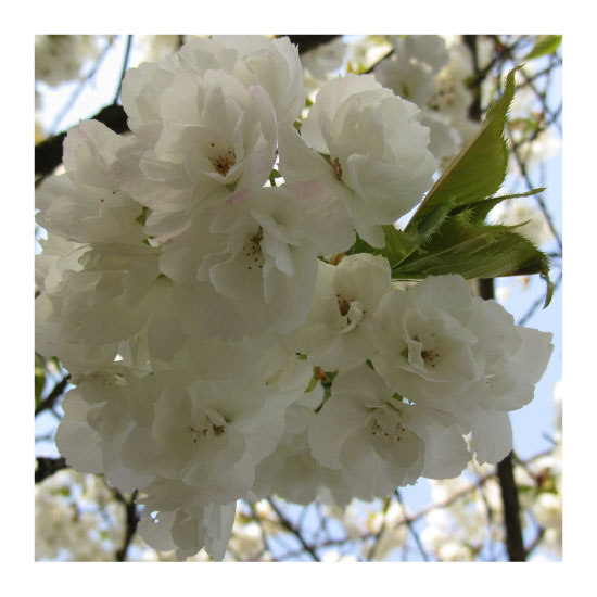 art prints - Blossom Beauty by Katsura Creative