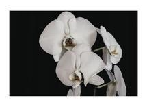 Orchids by Nancy Jeanne Morlino